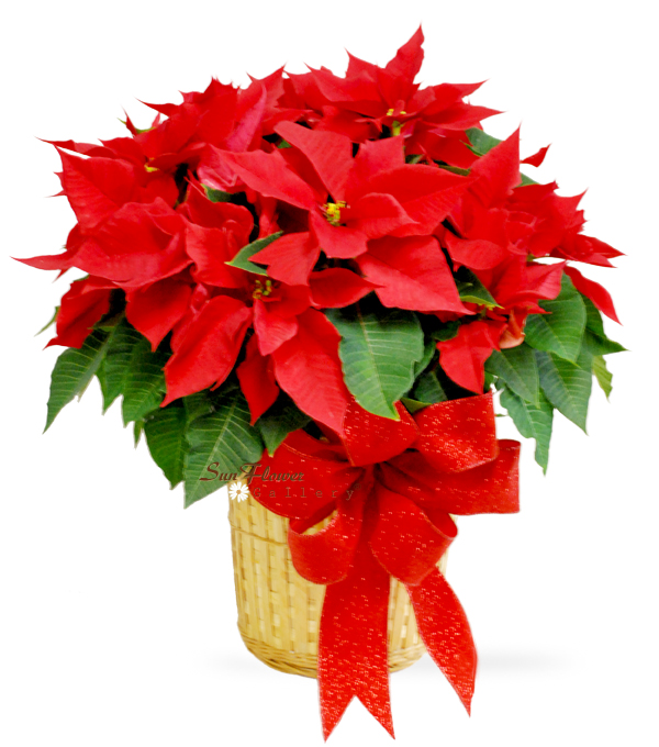 Large Poinsettia by Select Florists of Elmhurst, Il.